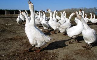 Мокшанские гуси