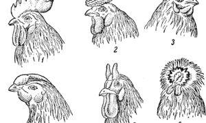 Описание отдельных частей тела у кур