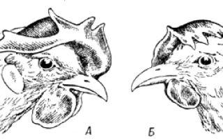 Оценка племенной птицы по внешним признакам