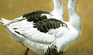 Померанские гуси
