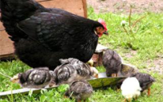 Возраст использования птицы