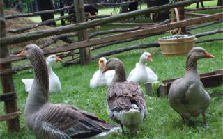 Выпуск взрослой птицы на выгулы