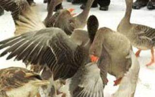Калужские гуси