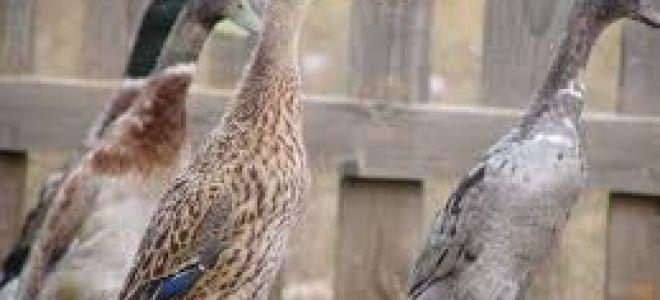 Тип яйценоских — утки Индийские бегуны