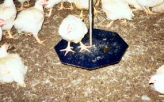 Индивидуальный учет яйценоскости и взвешивание