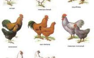 Породность птицы