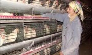 Роль птичницы в борьбе за здоровое поголовье птицы