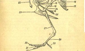 Особенности строения скелета птиц, кости скелета